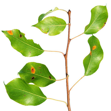 Imagen para la categoría Plant Pests and Diseases
